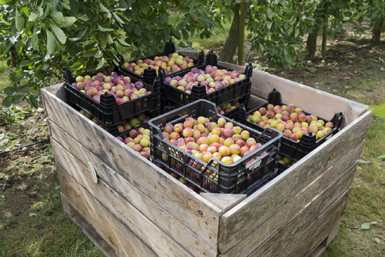 Pallets of Opal plums.
