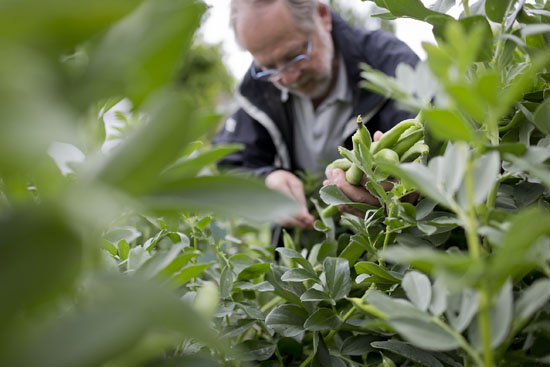 Harvesting broad beans at Plumpton College