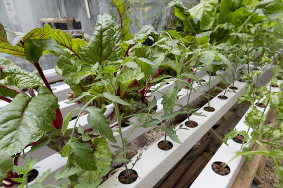 Tomatoes and chard growing in aquaponic system at Plumpton College