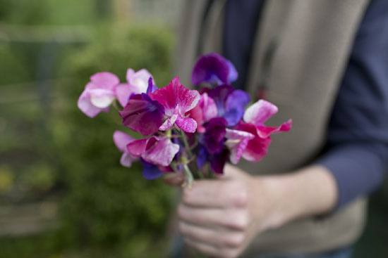 Sweet peas at Plumpton College