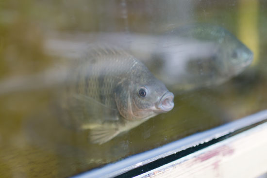 Tilapia in aquaponic tanks at Plumpton College