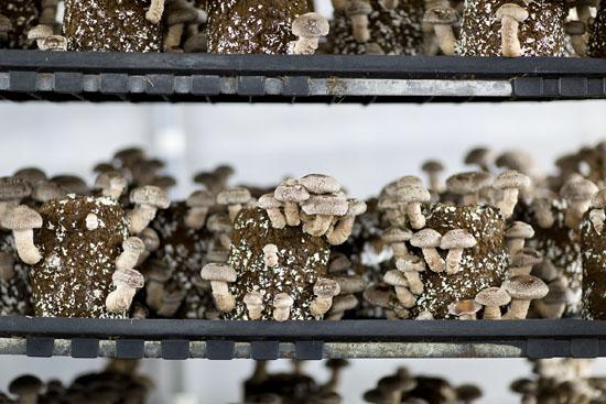 Racks of Shiitake mushroom