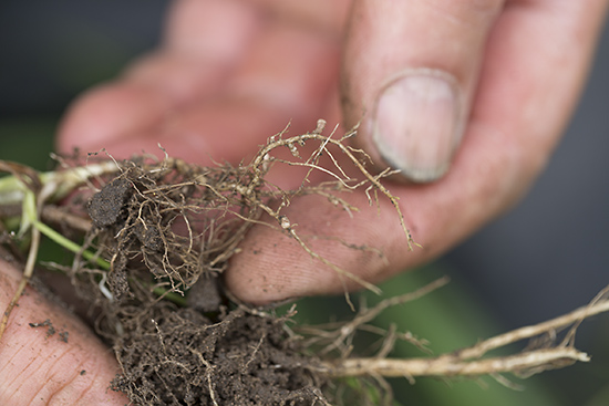 Nitrogen nodules on the roots
