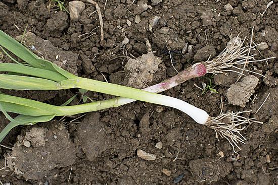 Immature hardneck garlic