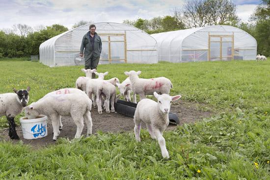 Lambs at the farm