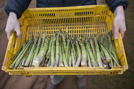 Tray of freshly harvested British asparagus