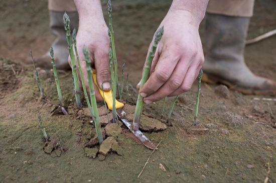 Harvesting British asparagus