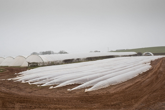Polytunnels of British asparagus