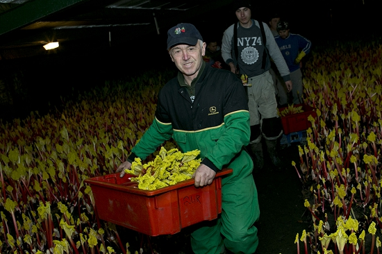 Picking forced rhubarb at E. Oldroyd & Sons
