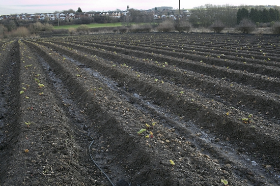 Outdoor farm land of E. Oldroyd & Sons for initial stages of forced rhubarb growth