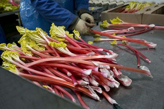 Grading forced rhubarb