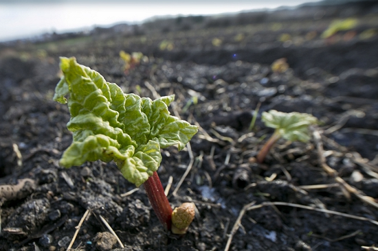 Forced Rhubarb in the field of E. Oldroyd & Sons