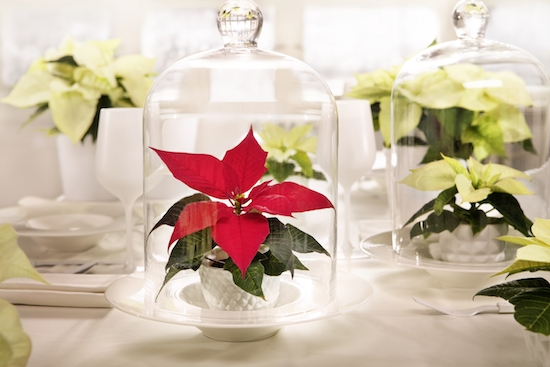 Red and White bell jar poinsettia