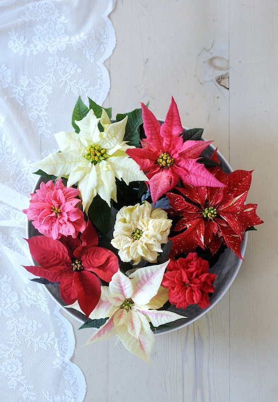 White, pink and red poinsettia flower arrangement
