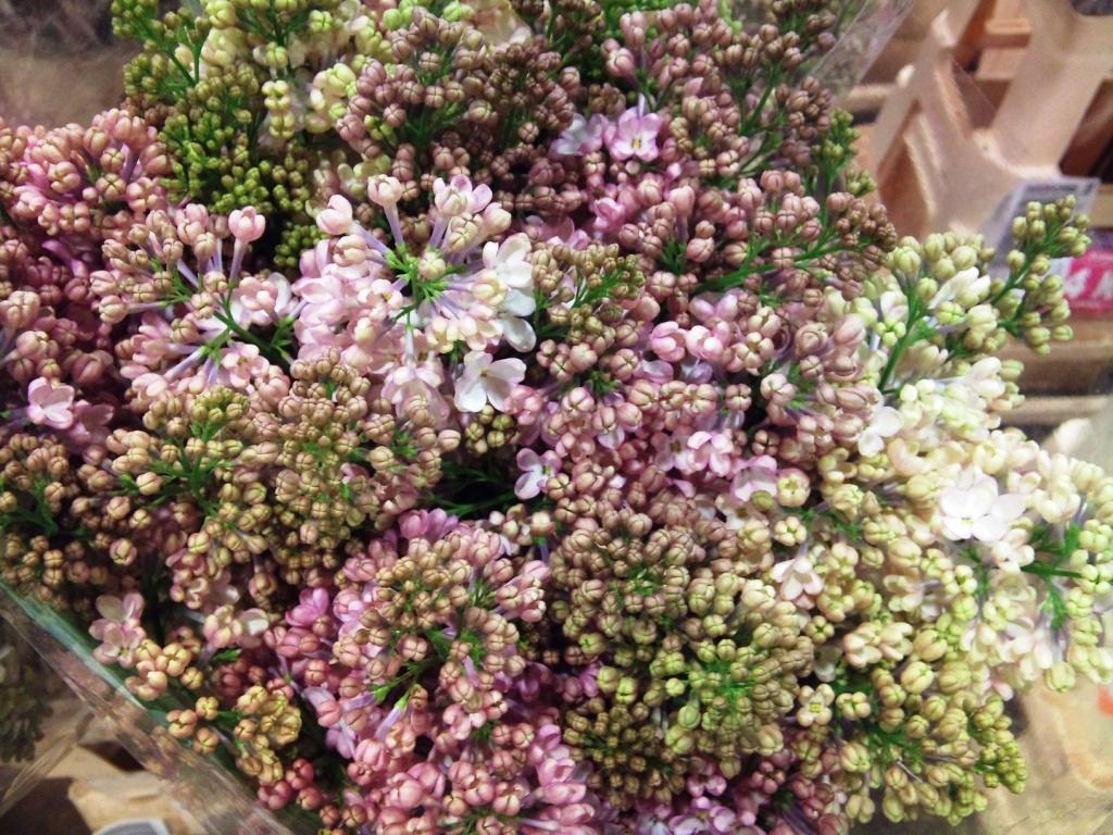 lilac-maidens-blush.jpg?mtime=20171003165623#asset:12784