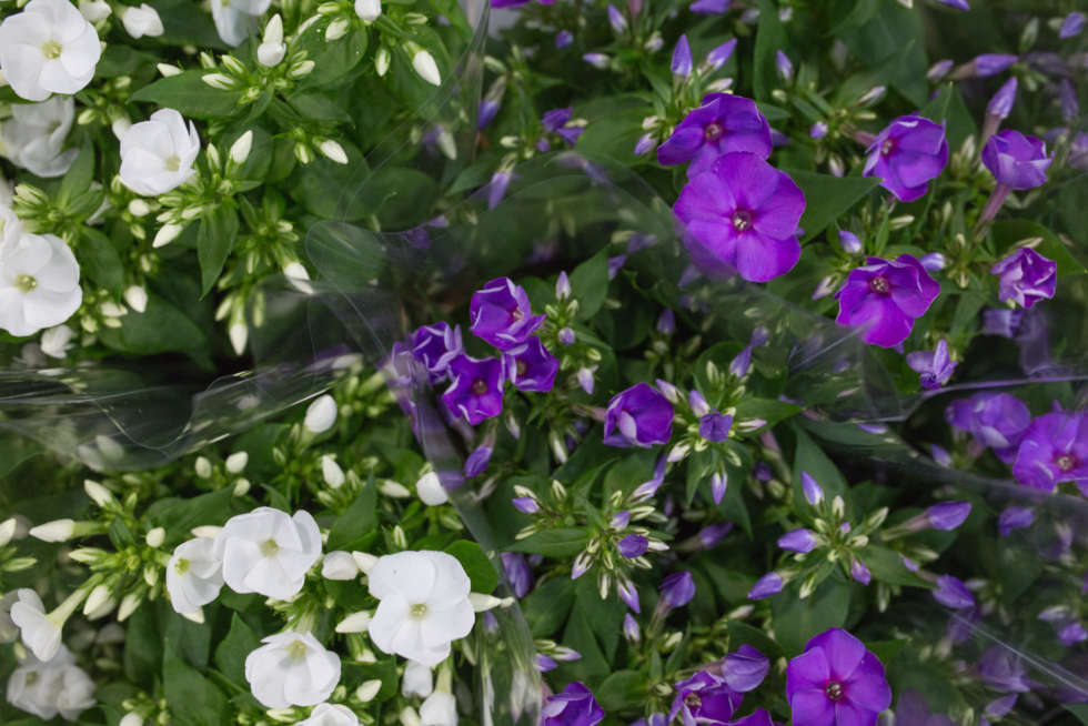 Product Profile: Phlox