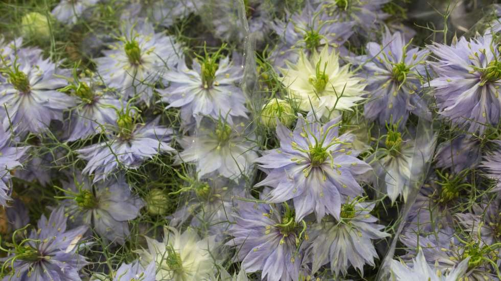 Product Profile: Nigella