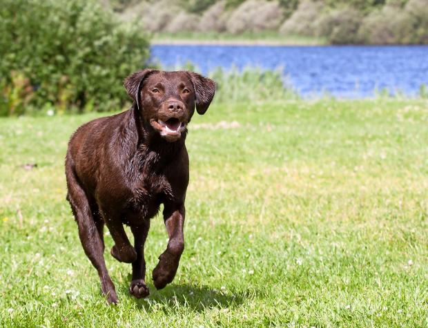 brune labrador hunde