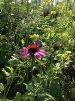 Echinacea_medium
