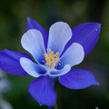 Thumb_blue-columbine-flower-1024x682