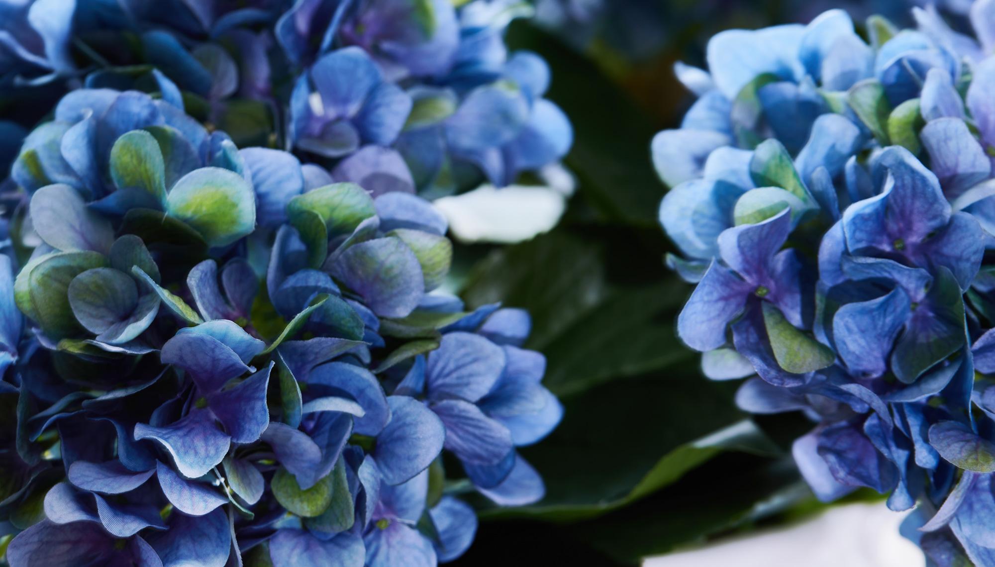 Snittblomma hortensia bla