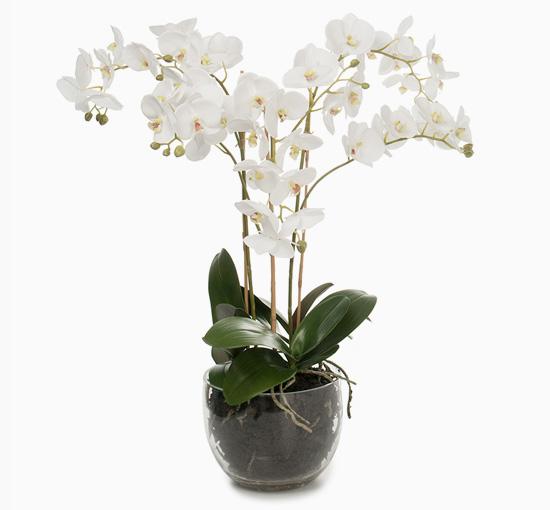 Orchide i kruka 70 cm