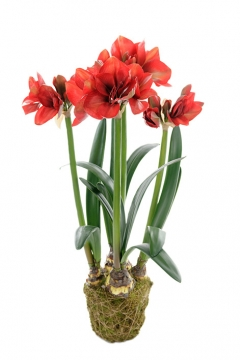 Amaryllis-red-100 2