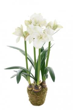 Amaryllis-white-100 2