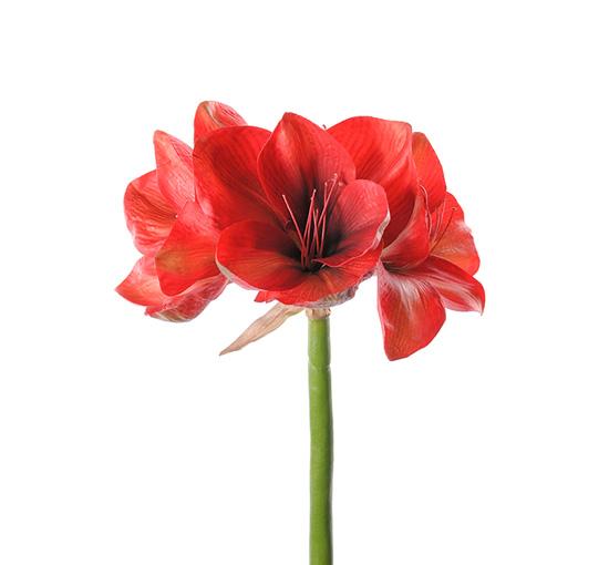 Amaryllis-red-75 1