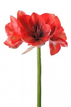 Amaryllis-red-75 2