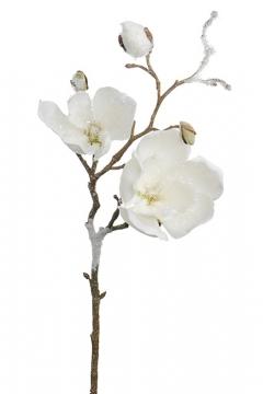 Magnolia-50 2