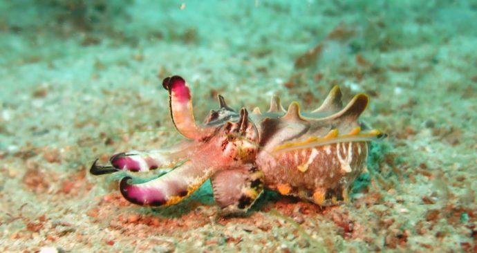 flamboyant-cuttlefish-1537973_1920