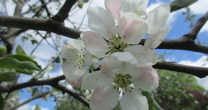 apple-blossom-2332159_1920