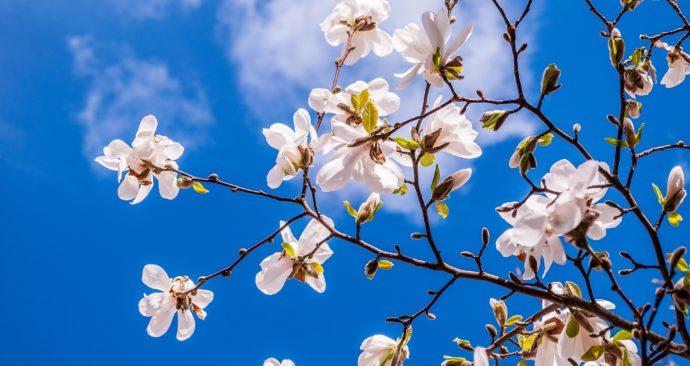 magnolia-2096958_1920