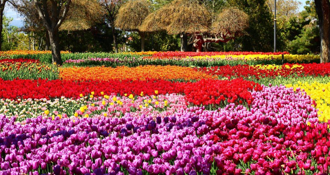 tulip-festival-2253585_1920