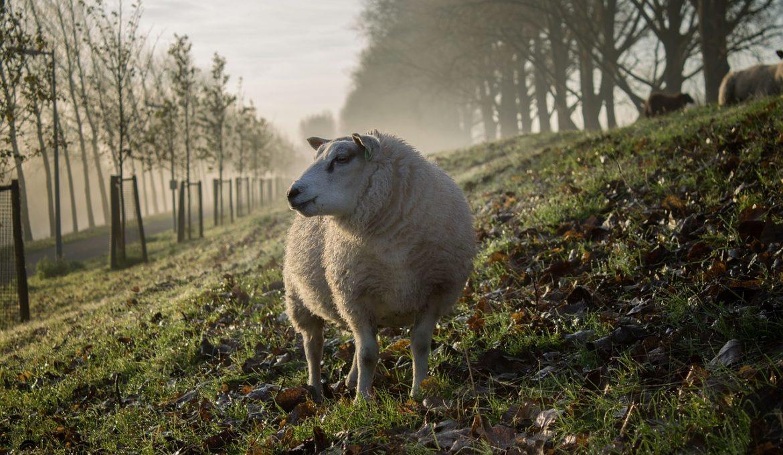 sheep-864384_1280