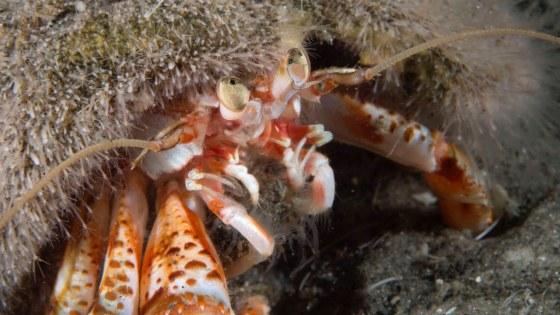 107232-Gewone heremietkreeft-Pagurus bernardus-Common hermit crab-Wrak2108-P6221144-oscarbos-adj
