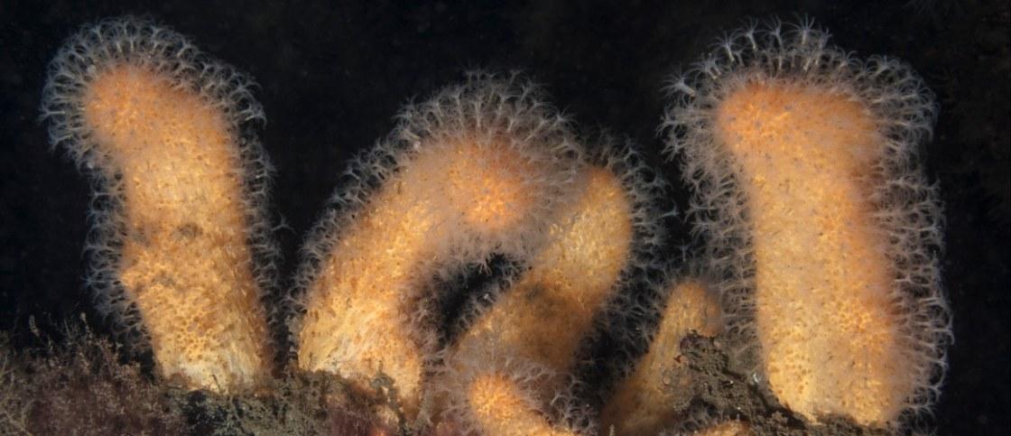 P Alcyonium digitatum – dead man's fingers – dodemansduim SC170705312v2