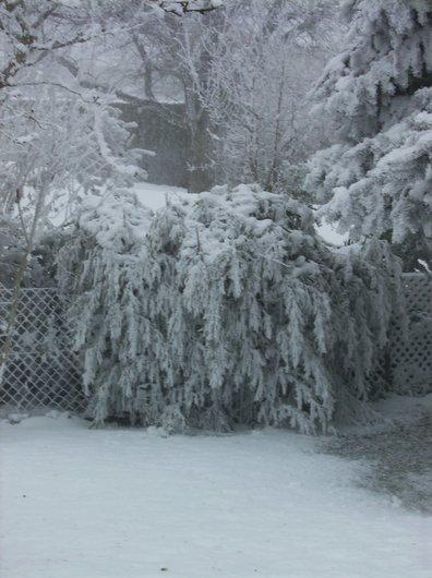 Bambou sous la neige et le givre