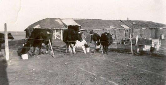 Adrienne nourrit les vaches_428