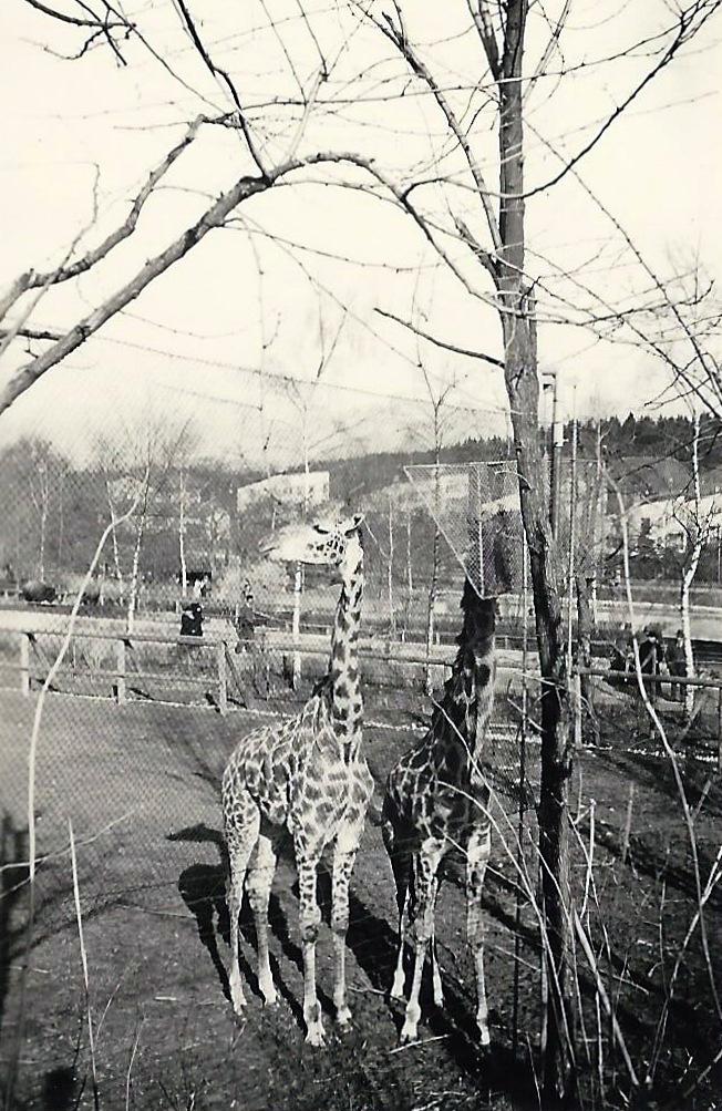 Les Girafes du zoo de Zürich
