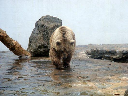 Ours brun de Syrie - Zoo de Servion
