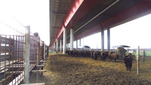 Les bisons du Russalet sous le pont de l'autoroute.