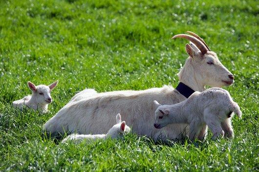 La chèvre et les trois chevreaux