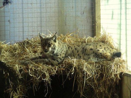 Zoo La Garenne - Le lynx «Toundra»