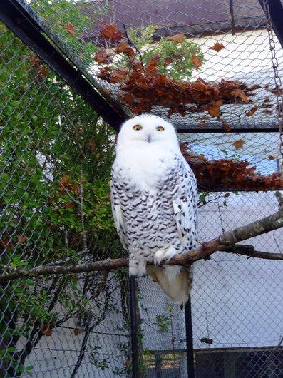 Zoo La Garenne - Chouette harfang