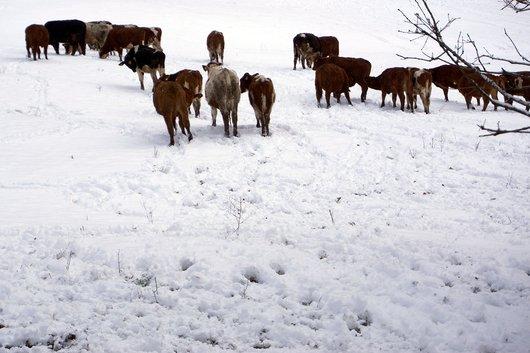Troupeau dans la neige