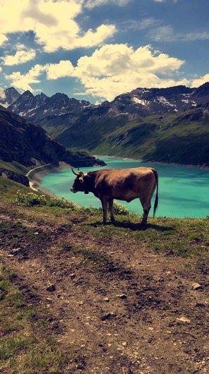 Moiry, la vache