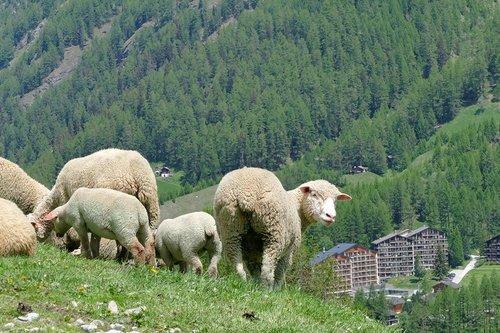 L' élevage ovin en Anniviers