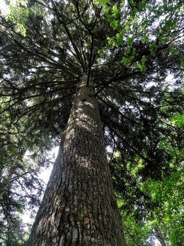 Le sapin Président des bois du Jorat